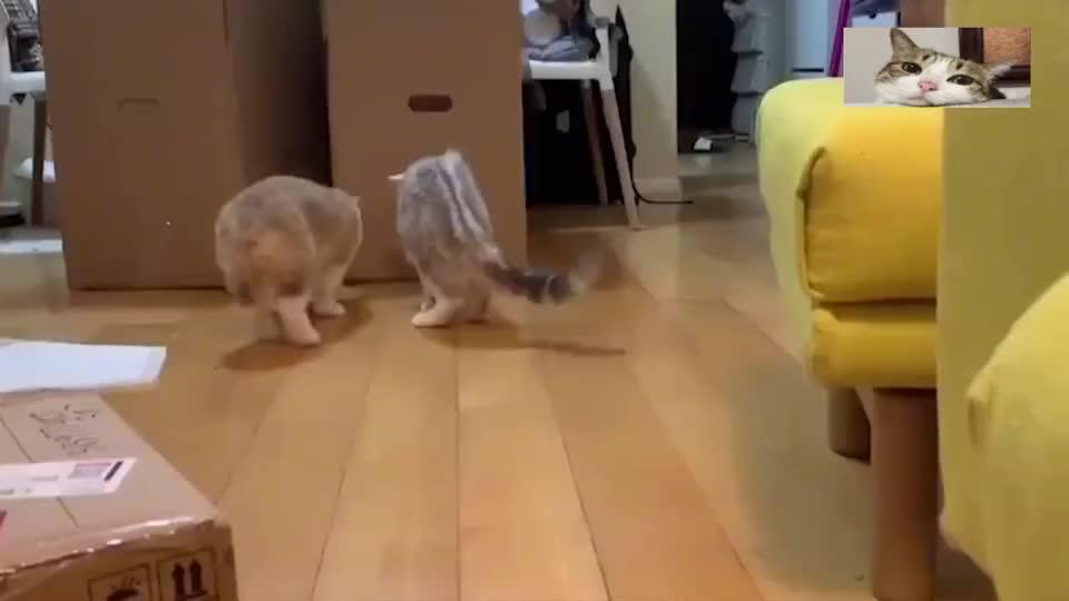 柯基肯定是故意的,明知道猫咪站在那还在弹,看着都疼