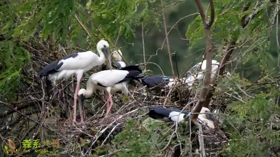 钳嘴鹳集群育雏,满树都是它们的鸟巢,可以有效抵御天敌的侵犯