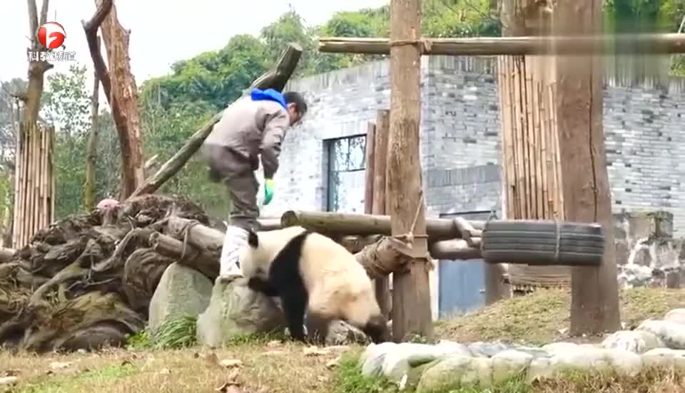 大熊猫真是太调皮了!刚将它们放出来了,就开始表演功夫瑜伽了