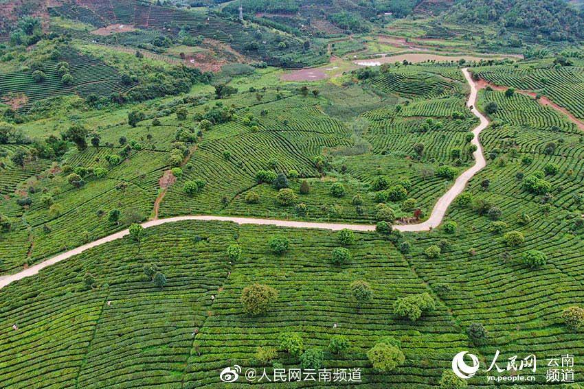 云南宁洱:茶产业助农脱贫增收