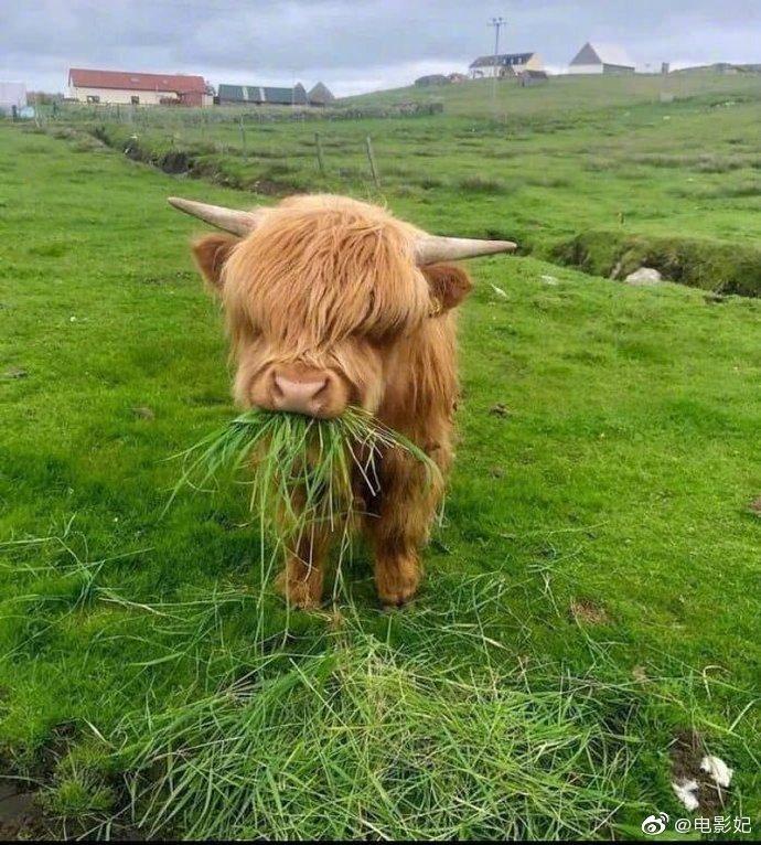 苏格兰的高地牛,为了抵御严寒,它们长了刘海……
