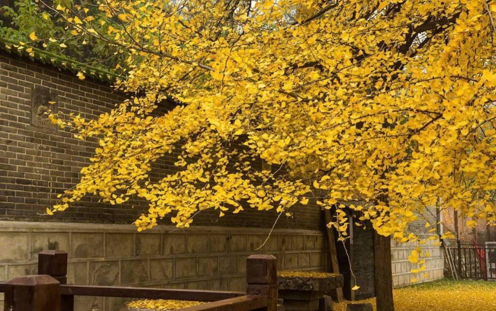 李世民栽了棵银杏,美了1400多年。