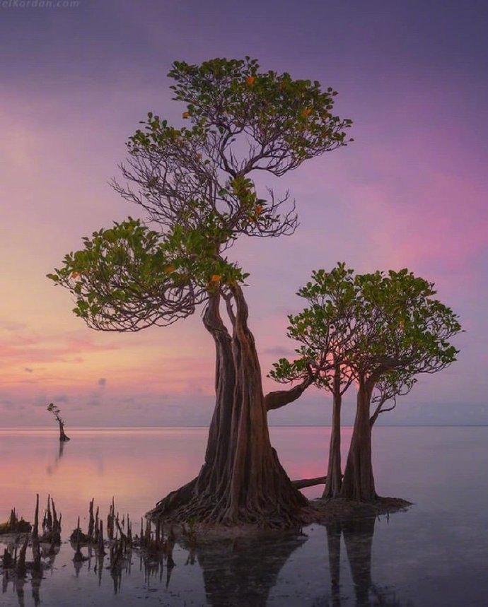 印度尼西亚的桑巴跳舞树!