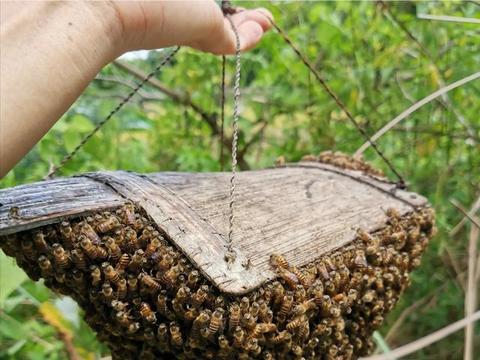 为什么蜂群都选择在上午分蜂而不是在下午?让我来详细告诉你