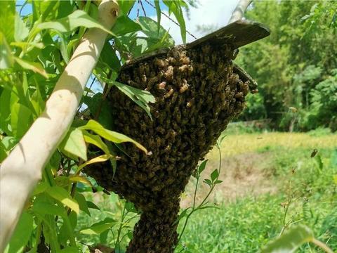 蜂群的分蜂与乱昼现象容易搞混怎么办?专家:记住这三个细节