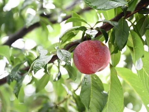 余杭这里产的果子你吃过吗?全省唯一列入濒危抢救保护的就是它!