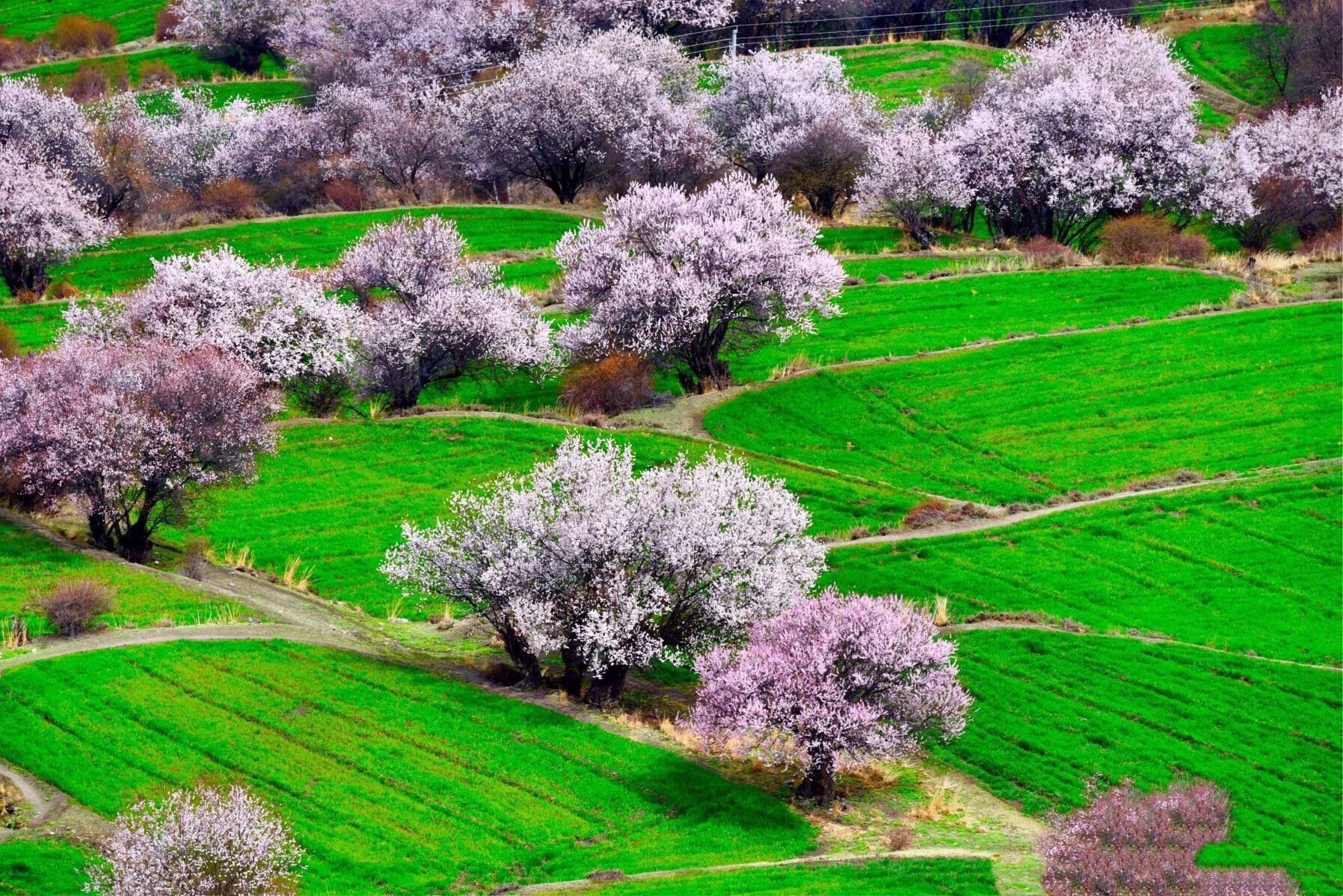 春天林芝漫山的桃花。
