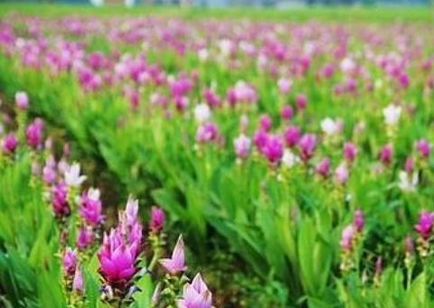 """""""姜块""""放盆里,简单养护就能生根发芽,开花似荷花6月份就能赏"""
