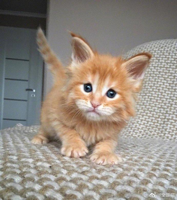 缅因猫的四个时期,逐渐猛男化