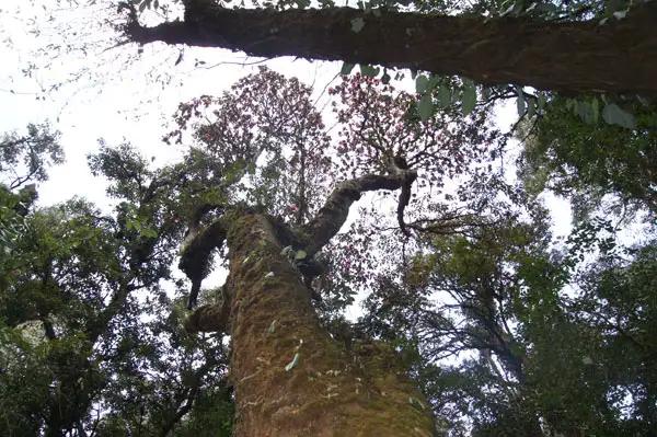 世界最大的杜鹃树,界头高黎贡大树杜鹃王,基部直径3.07米,高28米