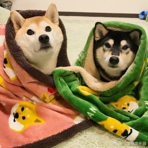 暖心柴犬的欢快日常,冬天要注意保暖哦!