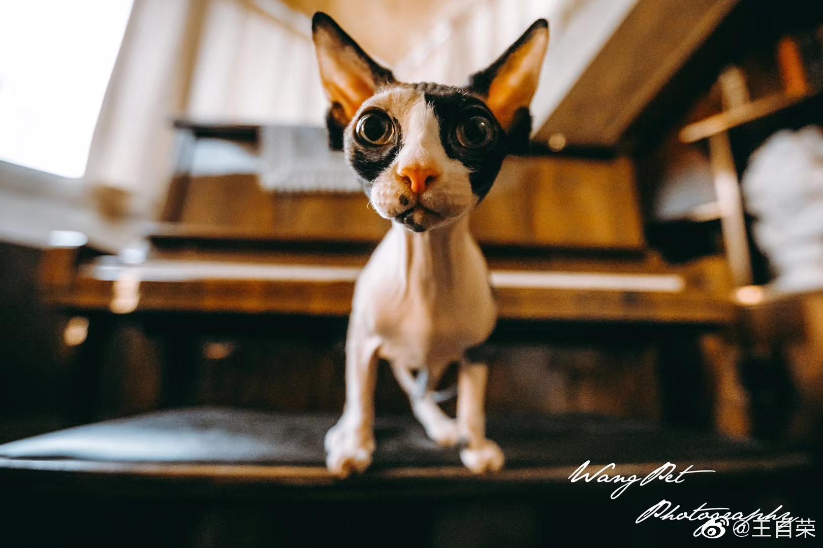 """这说的是不是加拿大无毛猫?它是""""琴键上的舞者,角落里的精灵"""""""