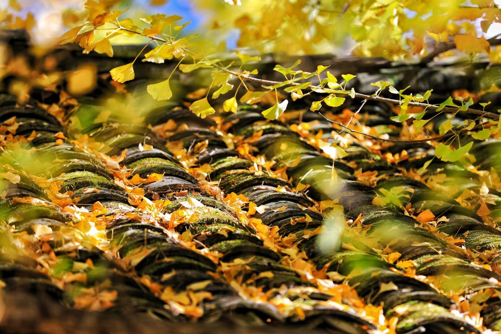 中国是银杏的故乡,而腾冲银杏村的银杏树