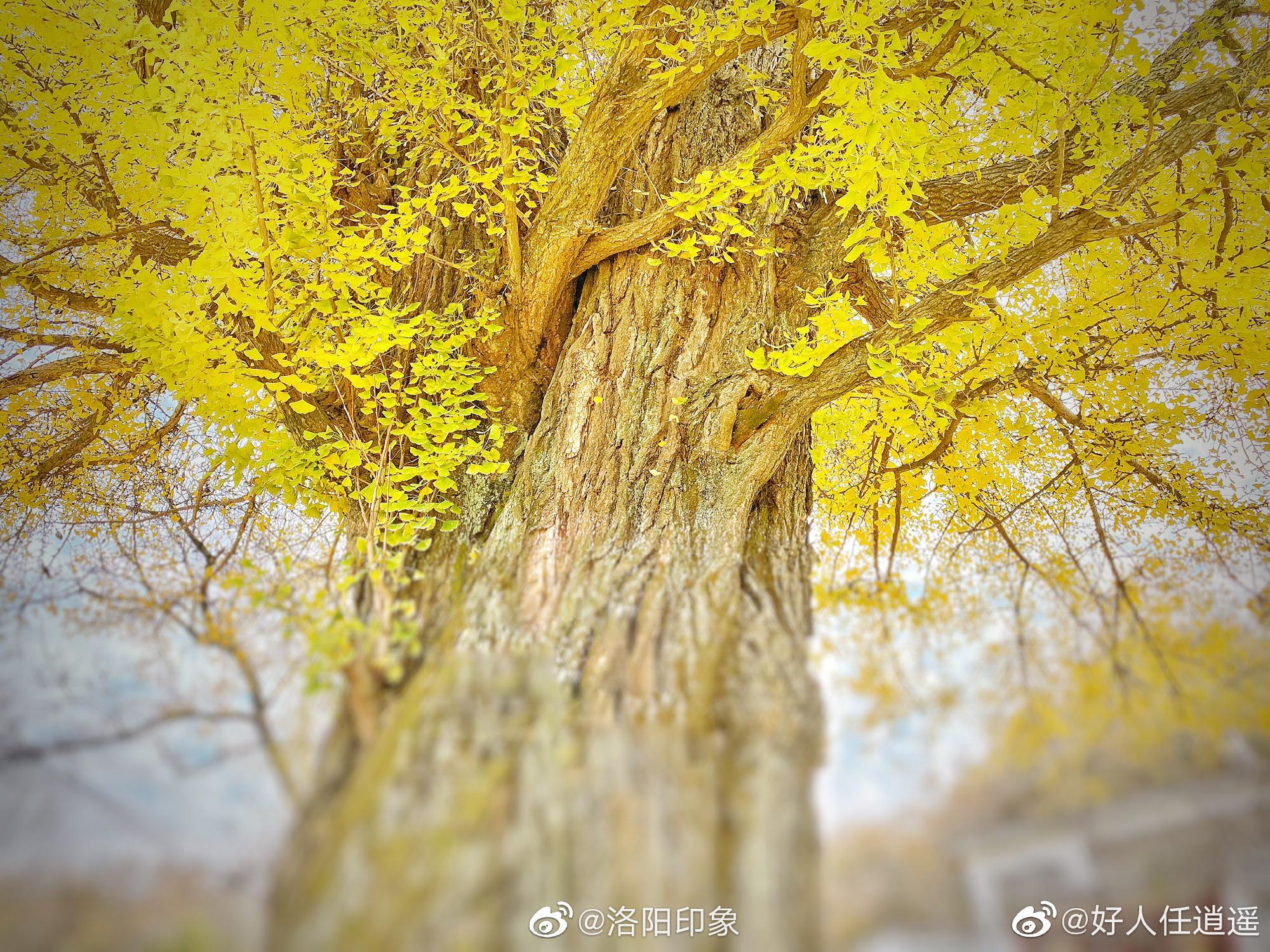 千年古树,银杏秋韵。:@好人任逍遥 摄于汝阳