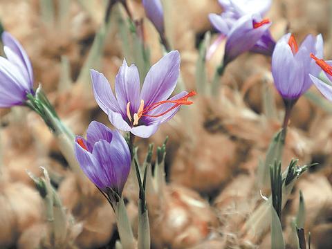 【走向我们的小康生活】藏红花:开花吐蕊助增收