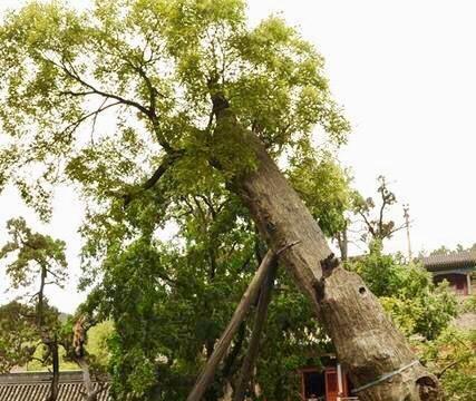 晋祠古树个个上千年,每一棵都有来头,跟古树留影还会带来好运