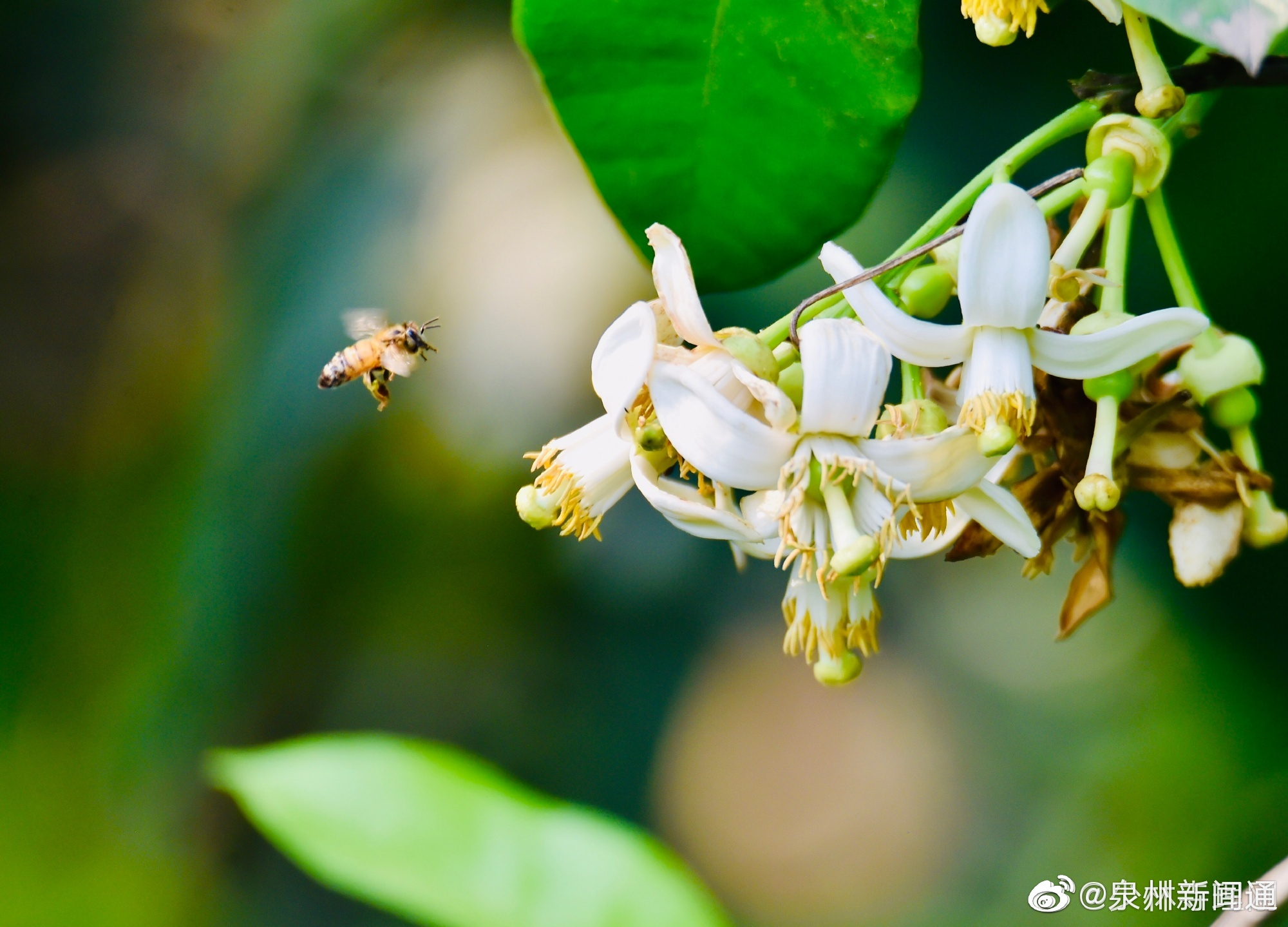 泉州少林寺柚子花开了,白玉般的花瓣,多半是四瓣的