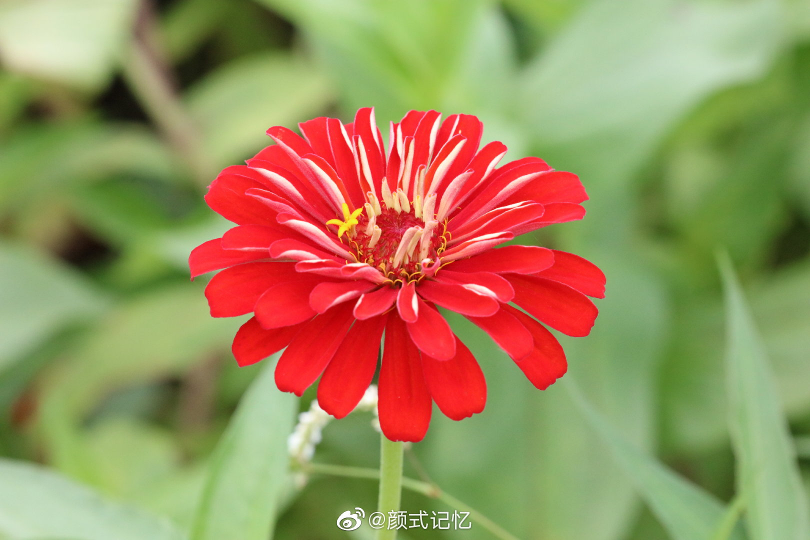 持续的爱一一百日菊。游新会大鳌镇荷塘旁花地拍摄。