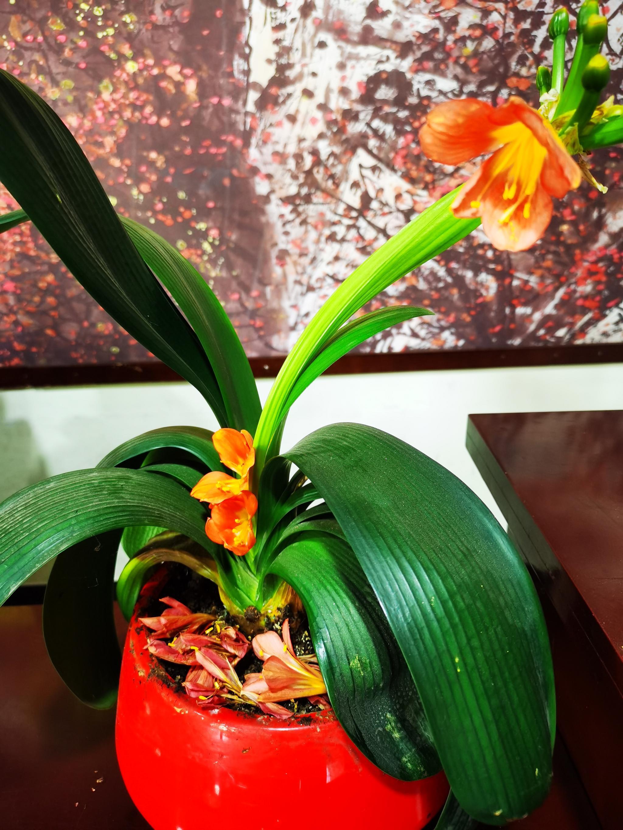 美容院余海鹰送我的一盆君子兰,年年开花……