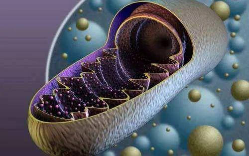 自由穿梭的线粒体可调节免疫反应,或带来新冠肺炎新疗法