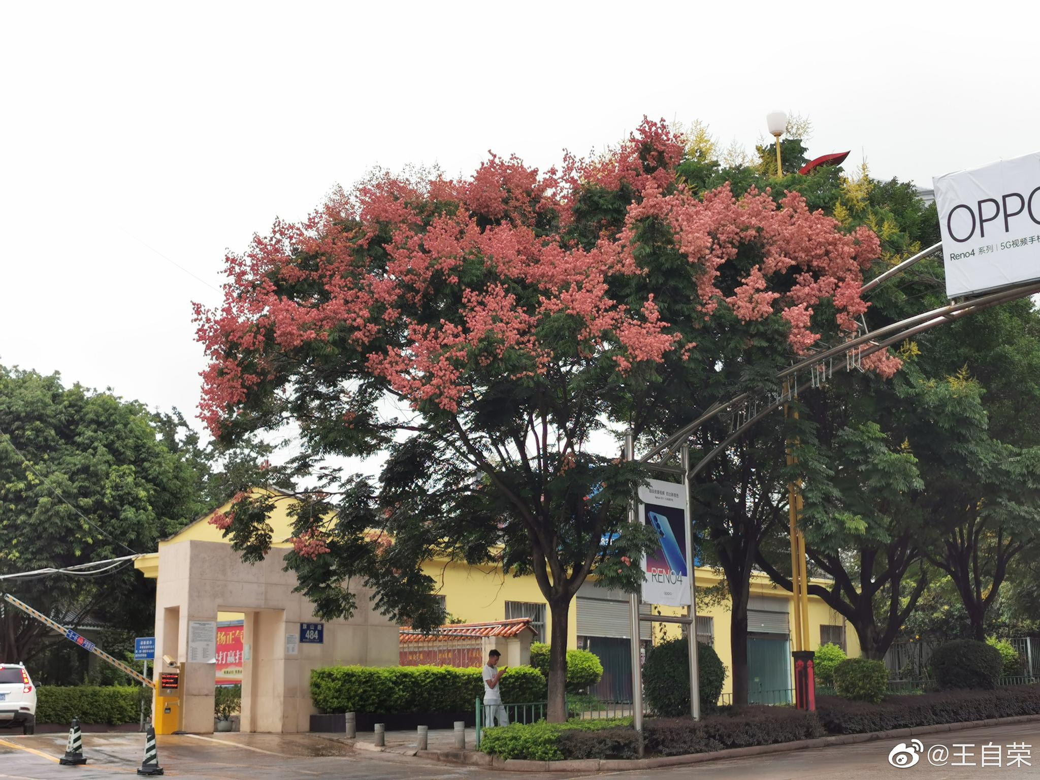 临沧旗山路,路两边,橙红色与黄色交织的栾树,在细雨中