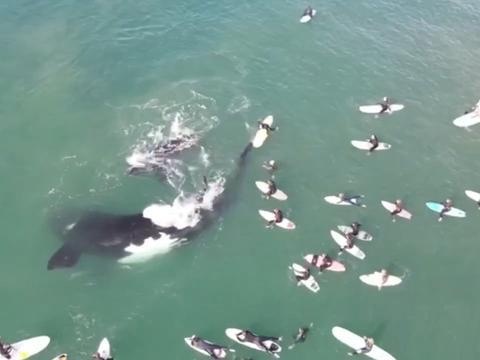 无人机拍到鲸鱼母子在海中与一群冲浪者嬉戏