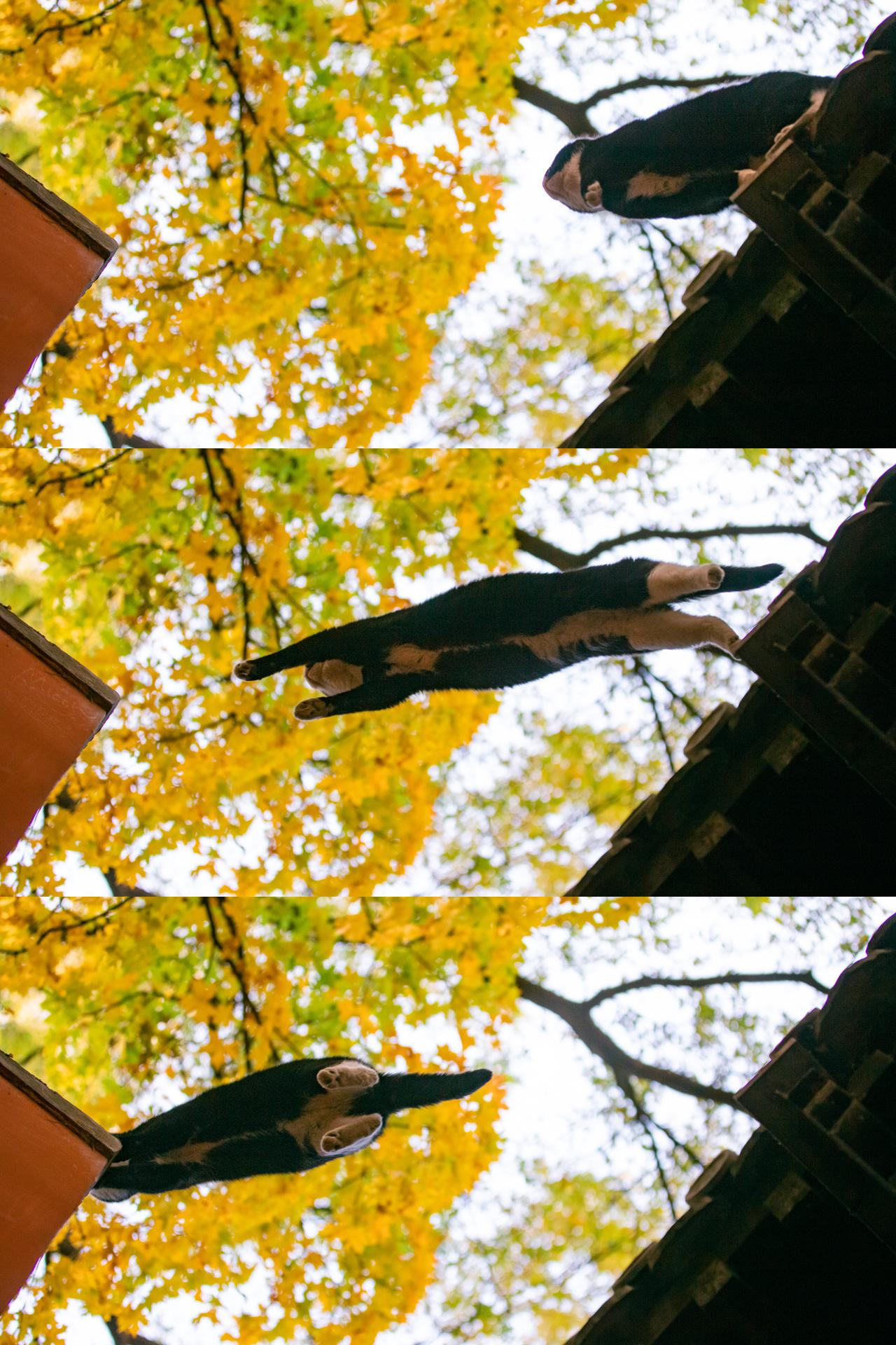 大觉寺秋色中,那些会飞的猫!