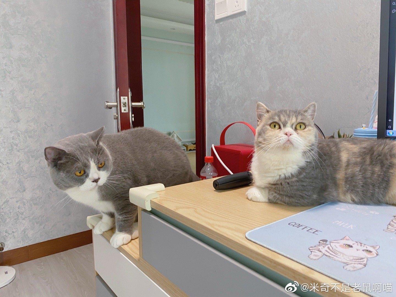 原来猫咪是真的用气味来辨认其他猫的,刚刚奶茶趴在电脑桌上