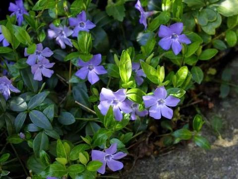小蔓长春花的栽培方法