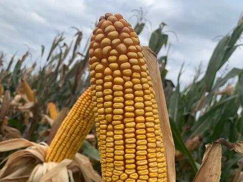 玉米涨到头了!?啥时候卖粮好?