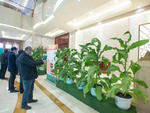 云南优质新品种烟叶助力烟草行业高质量发展