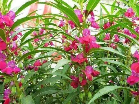"""经常看到的这种花,没想到还能用来""""美甲""""你知道叫什么名字吗?"""