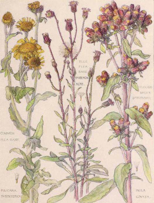 1907年艺术家H. Isabel Adams出版的《英伦三岛野生花卉》