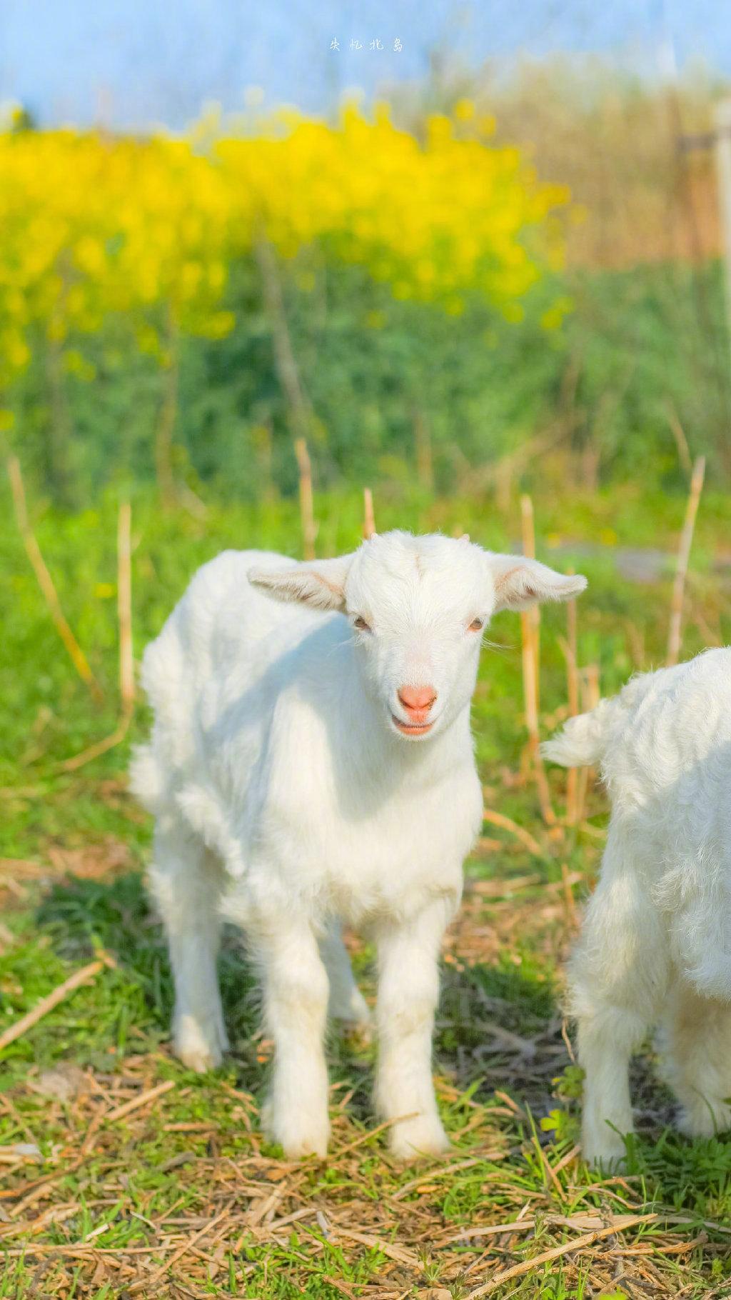 小羊与油菜花在春天的碰面🌼💛  cr.失忆北岛