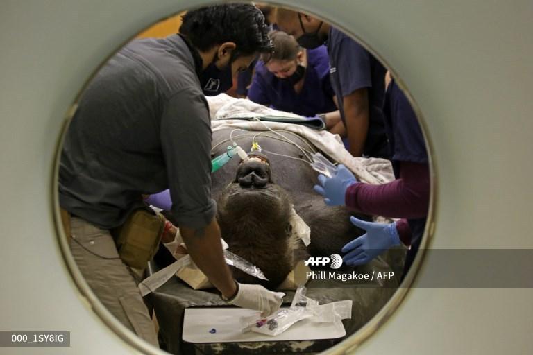 大猩猩Makokou在比勒陀利亚接受CT扫描。