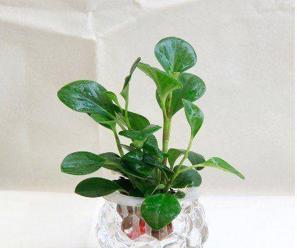 豆瓣绿的水培方法
