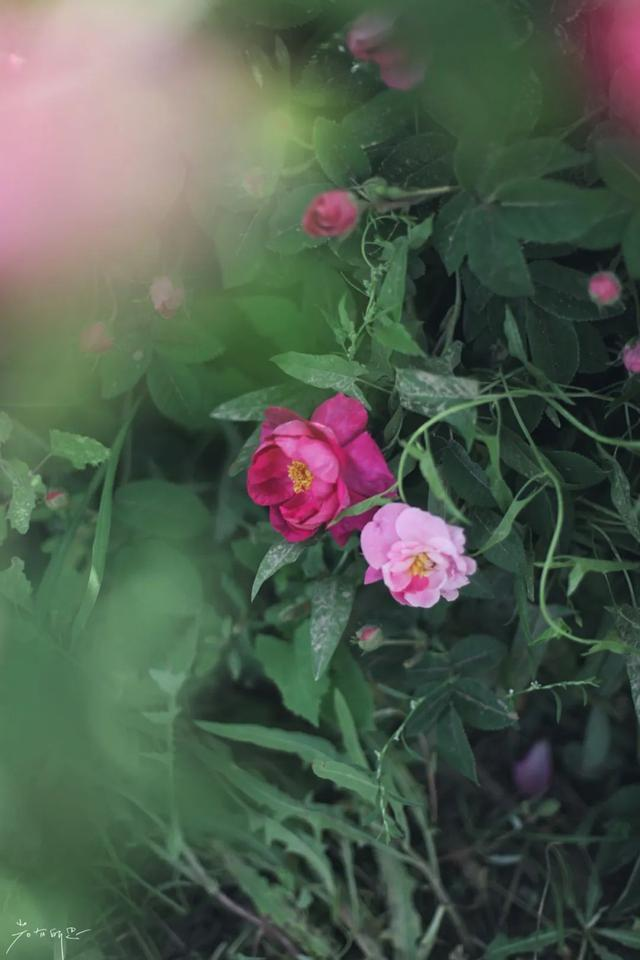 小玫瑰大产业!昆仑山脚下4.6万亩沙漠玫瑰,五月绽放