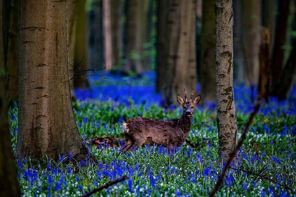 比利时蓝铃花hallerbos魔法森林,里面一定住了个小精灵吧 !