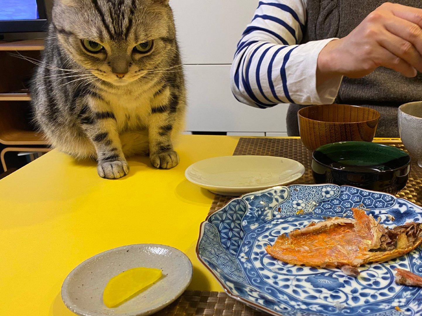 猫咪一直盯着饭桌上的鲷鱼干!by/twitter/gentlerain0