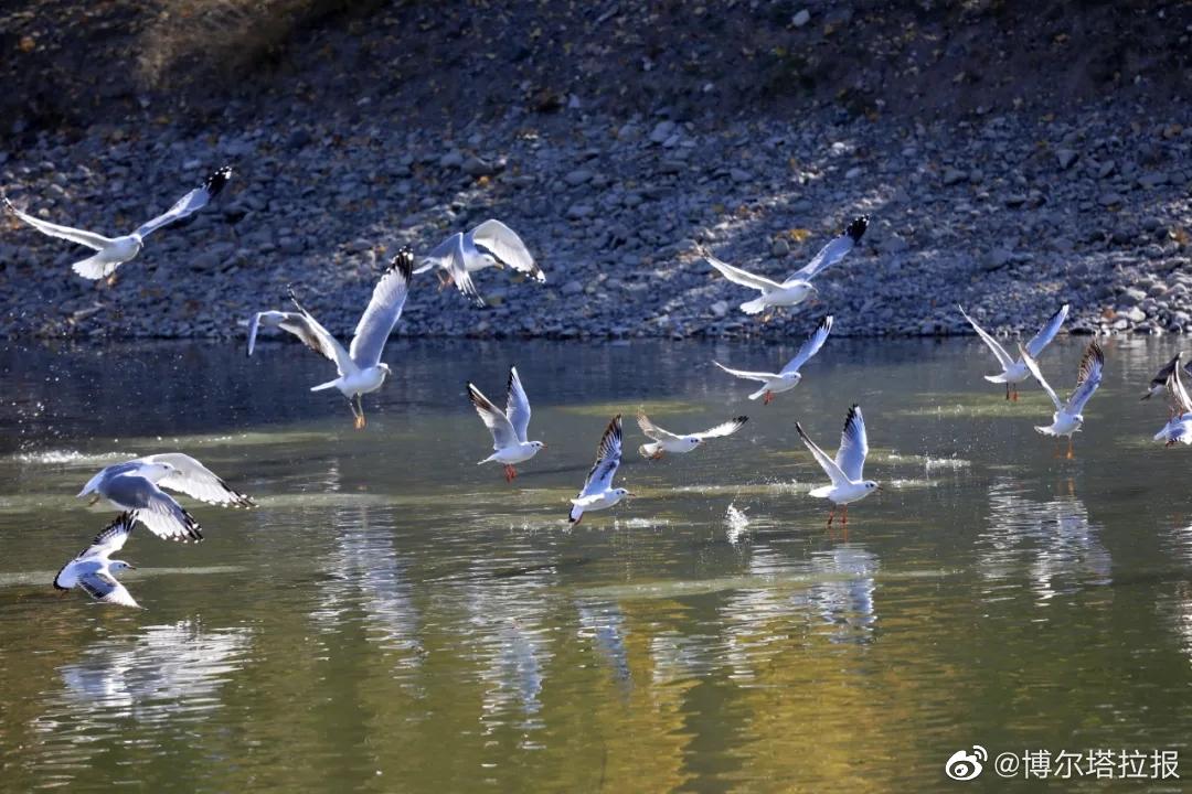 金秋时节,博尔塔拉河迎来了丰收季,河谷上下的许多鱼池开始秋捕