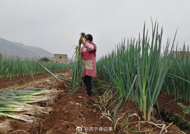 济宁市泗水县南陈村的大葱收获了