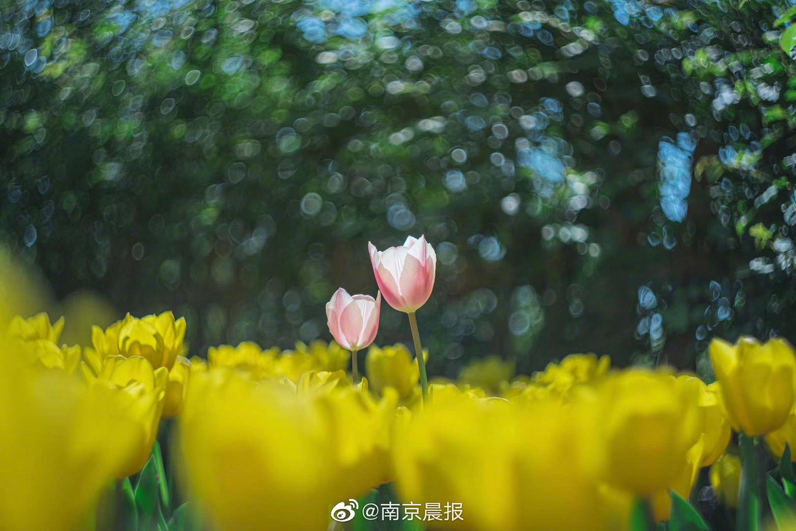 """与你相""""郁""""好幸运!南京绿博园12万株郁金香花开成海"""