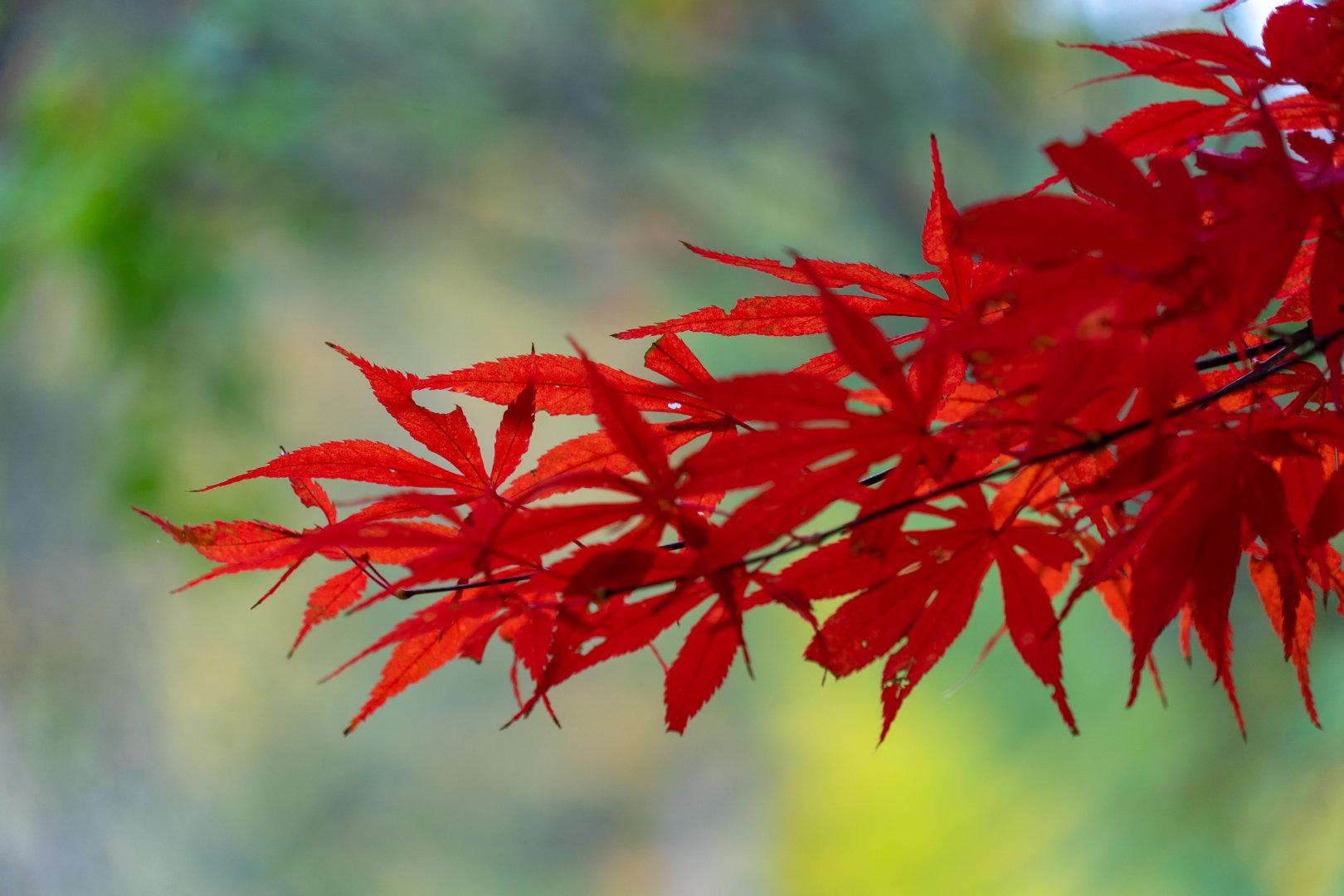 深秋时节红叶烂漫,像一簇簇展开笑脸的杜鹃花