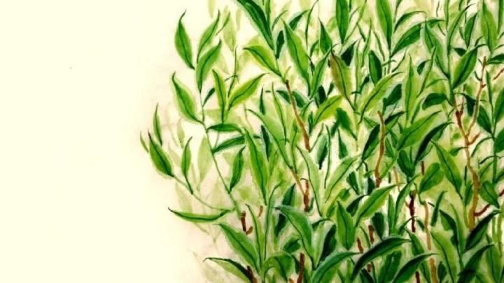 《煎茶日记》12月21日 零基础学茶?先背《茶叶三字经》