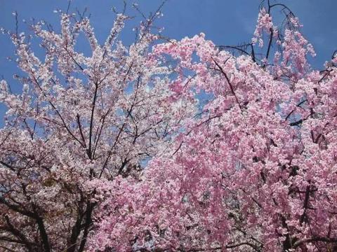 踏青赏花季 沂蒙马泉休闲园万亩樱桃花开