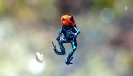 长着一对蜡笔小新粗眉!火焰箭毒蛙繁殖成功,好似塑胶玩具