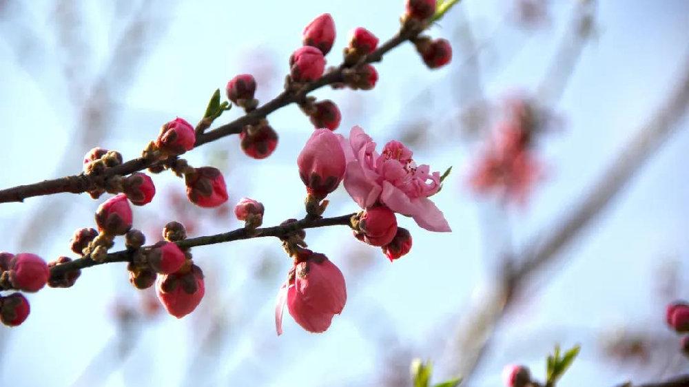 申城桃花提前初绽,预计3月上中旬进入盛花期
