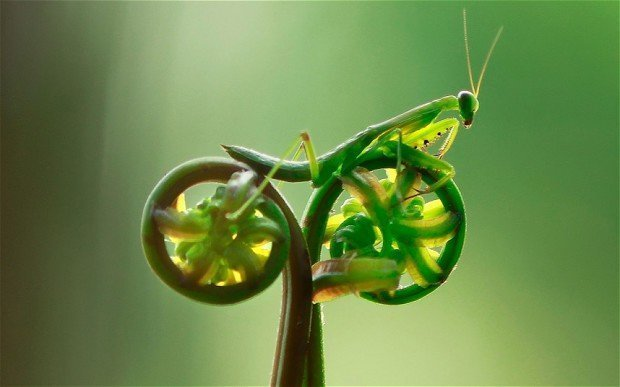 蕨类植物上的螳螂,看起来像一辆摩托车。  Tustel Ico