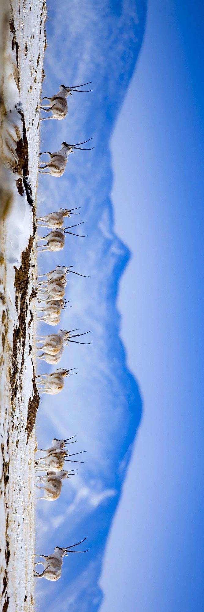 可可西里,是人类生命的禁区,却是野牦牛、藏羚羊的自由天堂。