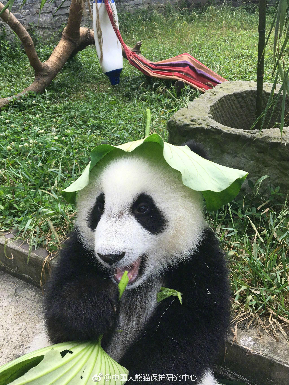 戴着荷叶的大熊猫真的好乖萌啊,还给荷叶掏了两个洞露出耳朵